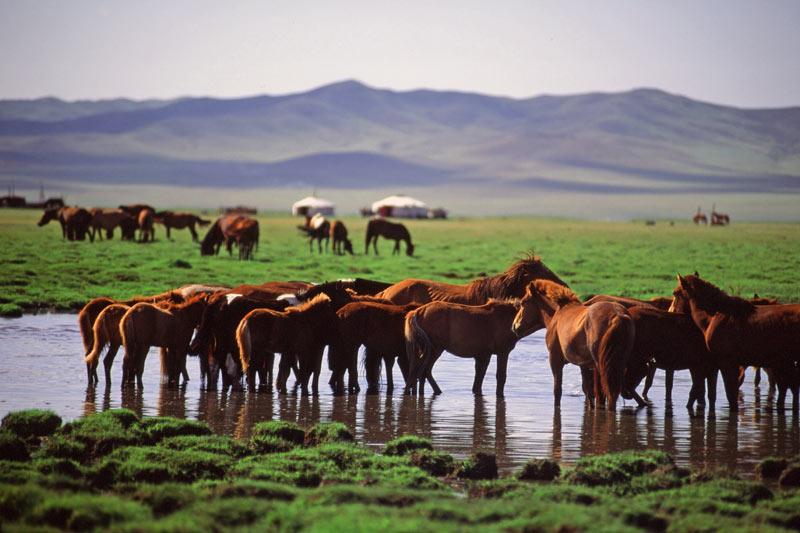 Wild horses at Mongolia's Hustaii Nuruu National Park. Photo credit: Peter Guttman