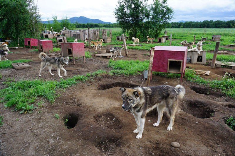 Kamchatka sled dogs love visitors. Photo credit: Jake Smith