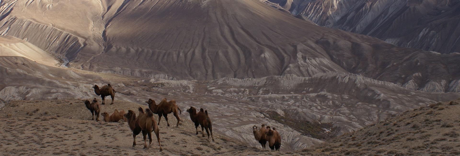 Camels in Wakhan Valley (Tajikistan). Photo credit: Dilshod Karimov