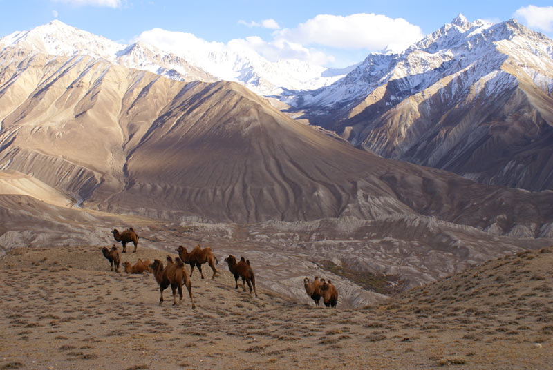 Camels in Wakhan Valley, Langar, Tajikistan. Photo credit: Dilshod Karimov