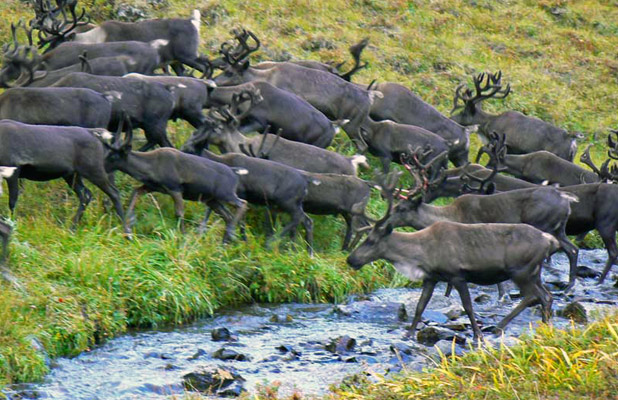 Summertime draws hundreds of reindeer to mountain pastures on Kamchatka Peninsula. Photo credit: Martin Klimenta