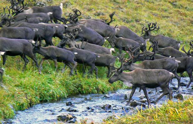 Summertime draws hundreds of reindeer to mountain pastures on Kamchatka Peninsula. Photo credit: Martin Klimenta