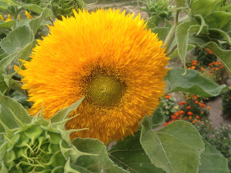 "Fuzzy ""Teddy Bear"" sunflowers aren't grown for their seeds. Photo credit: Luba Rudenko"