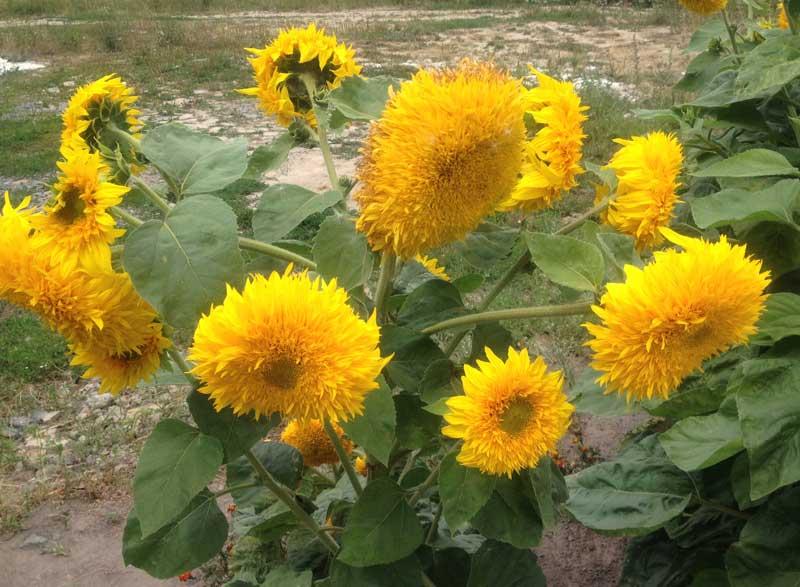 Cheerful sunflowers dot the landscape in Ukraine. Photo credit: Luba Rudenko
