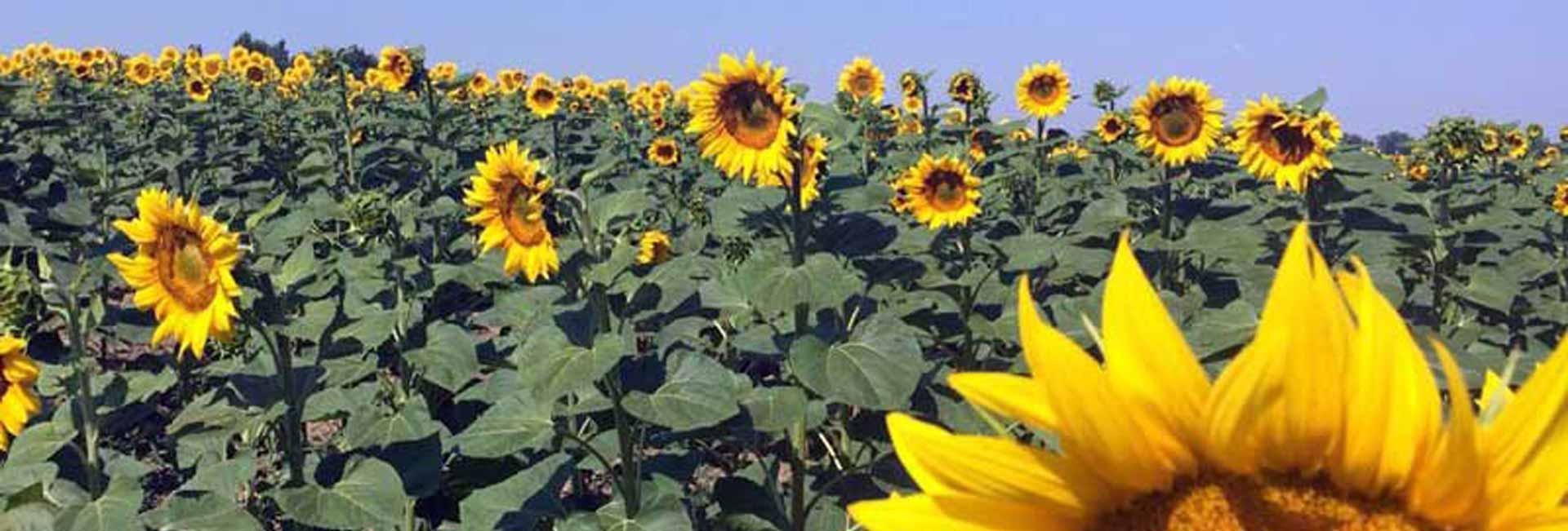 Sunflowers turn their faces toward the sun. Photo credit: Luba Rudenko
