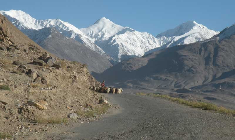A herd of goats coming 'round the bend in the Pamir Mountains. Photo credit: Jake Smith
