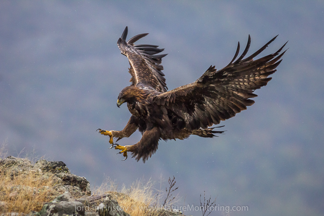 A rare golden eagle comes in for a landing in Bulgaria's Eastern Rhodope Mountains. Photo credit: Iordan Hristov / www.naturemonitoring.com