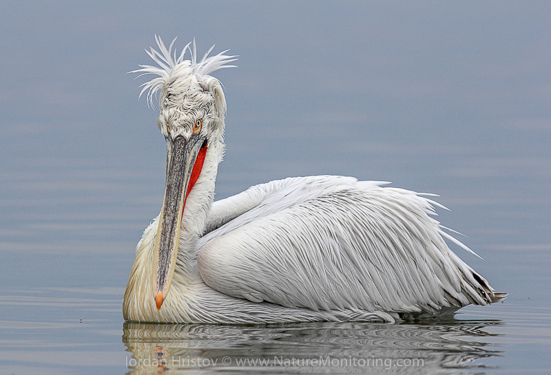 The Dalmatian pelican is just one of many bird species you might spot in Bulgaria. Photo credit: Iordan Hristov / www.naturemonitoring.com