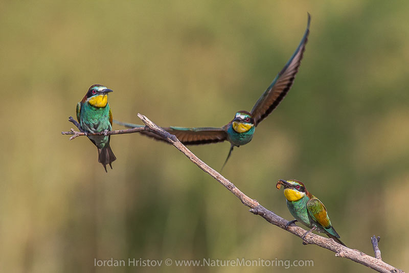 European bee-eaters are the most colorful European bird — their feathers can often display up to 16 different colors. Photo credit: Iordan Hristov / www.naturemonitoring.com