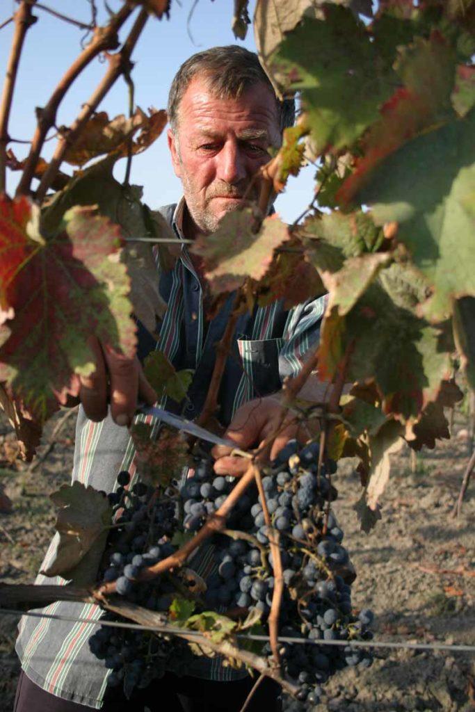Harvesting grapes in a Kakheti vineyard.