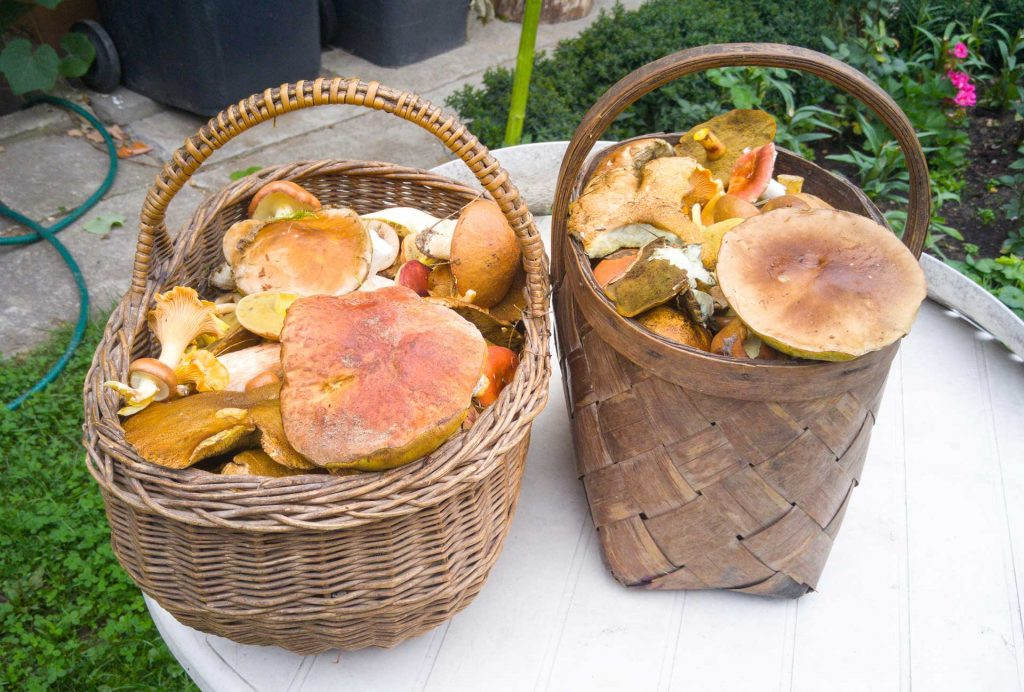 More than four hundred edible varieties of mushrooms are found in Lithuanian forests.