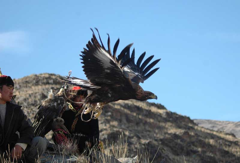 A golden eagle's wingspan can reach six feet, flying at speeds up to 190 mph. Photo credit: Nomadic Expeditions